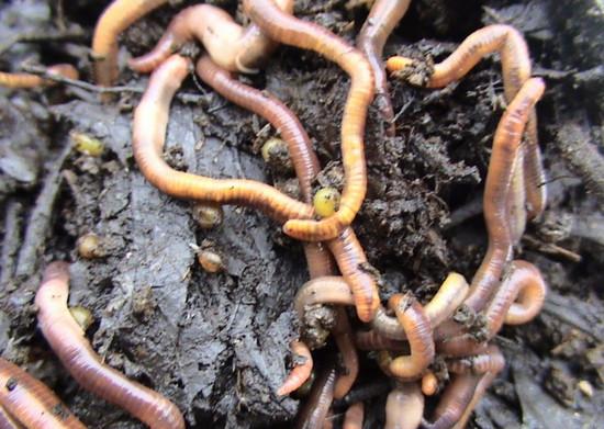 Viermii hipodermici se mișcă la om
