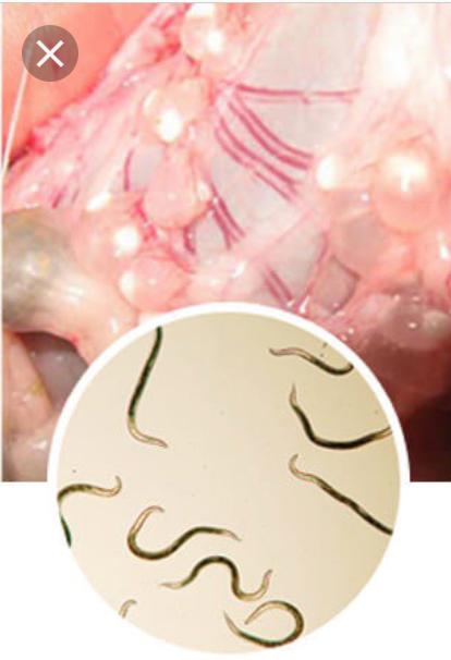 parasit papiloma adalah