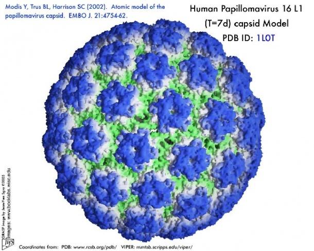virus hpv human papilloma virus)