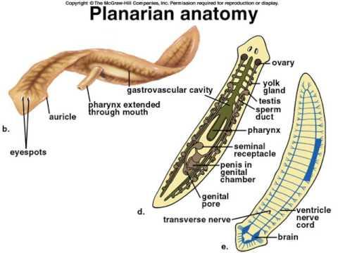 tipuri generale de viermi prevenirea paraziților în organism
