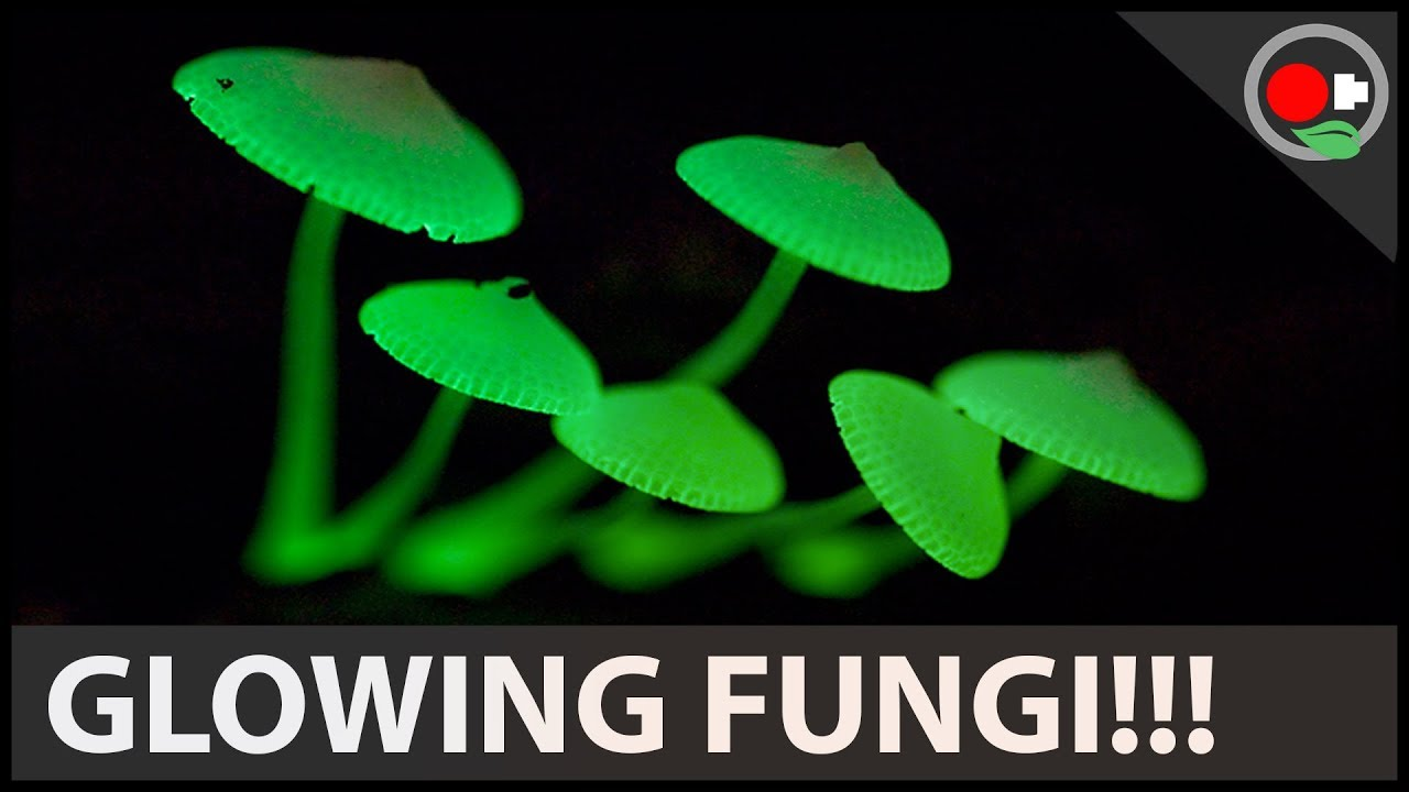 ciuperci fosforescente