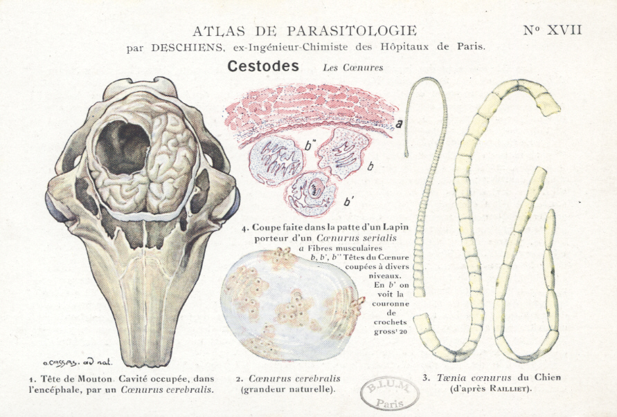 localizarea parazitilor in organismul gazdei