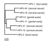 papillomavirus type virus hpv and face warts