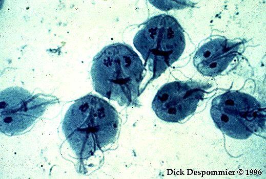 lamblia paraziti maladie papillomavirus homme