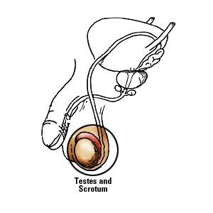 papilom testicular cheloo liceu
