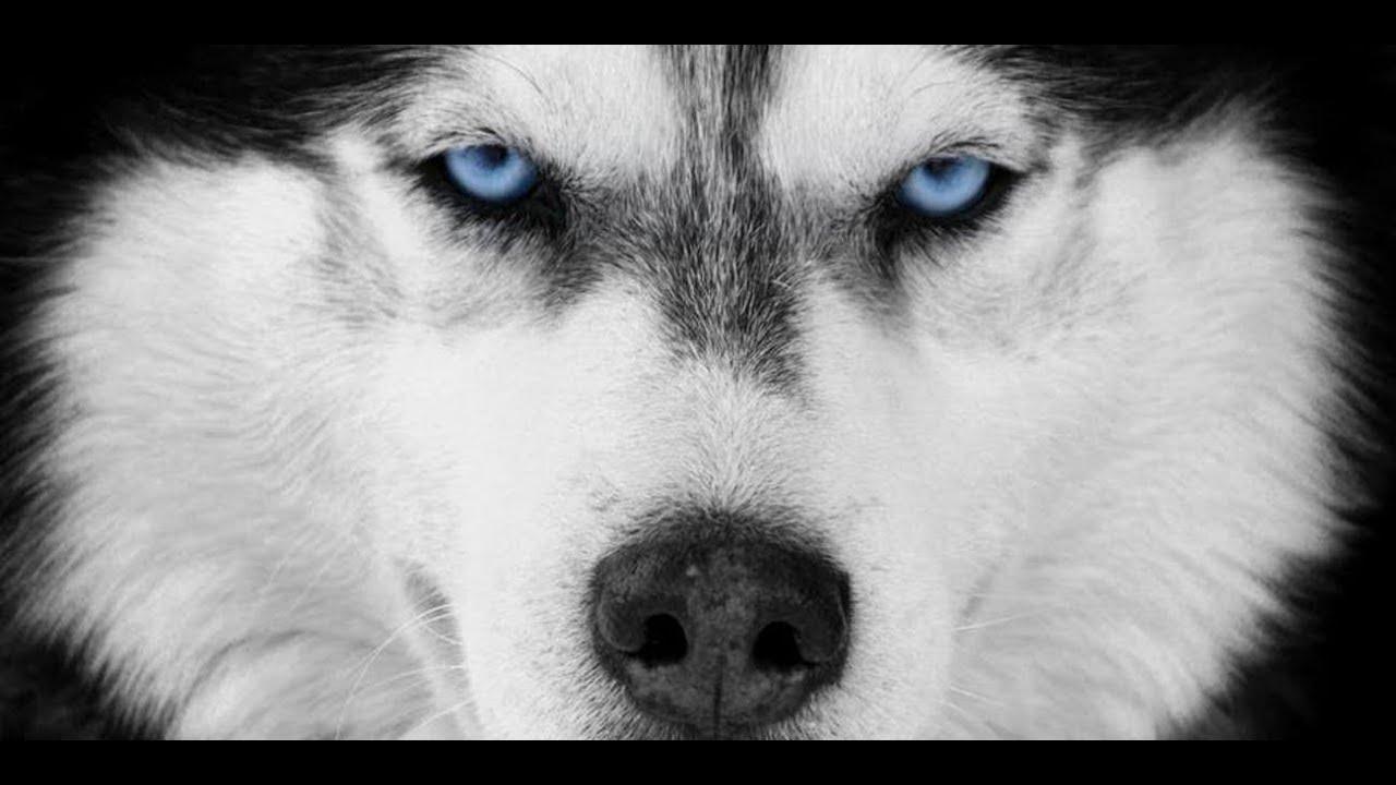 Viermi Husky cum să tratezi negi genitale așa cum apare