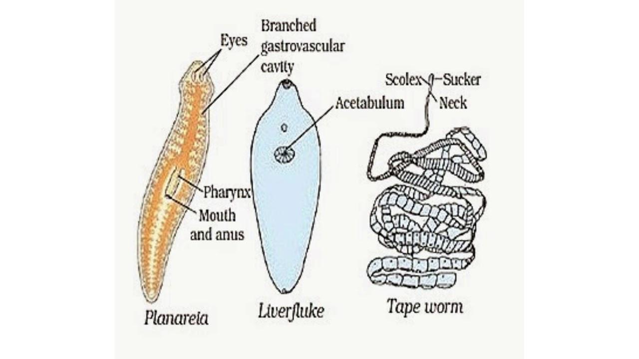 nemathelminthes anatomie gambar)