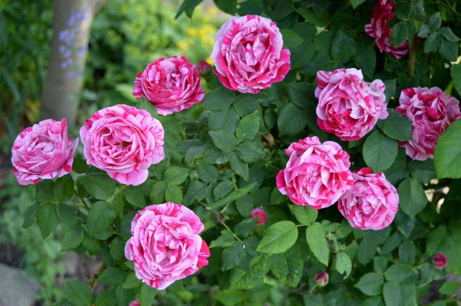 paraziți cu șolduri de trandafiri complet recuperat din negi genitale