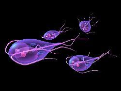 paraziti cryptosporidium și giardia
