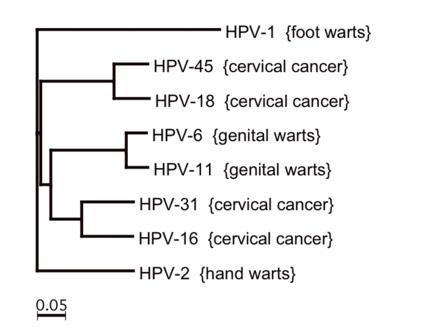hpv virus number 16 papilom în uretra