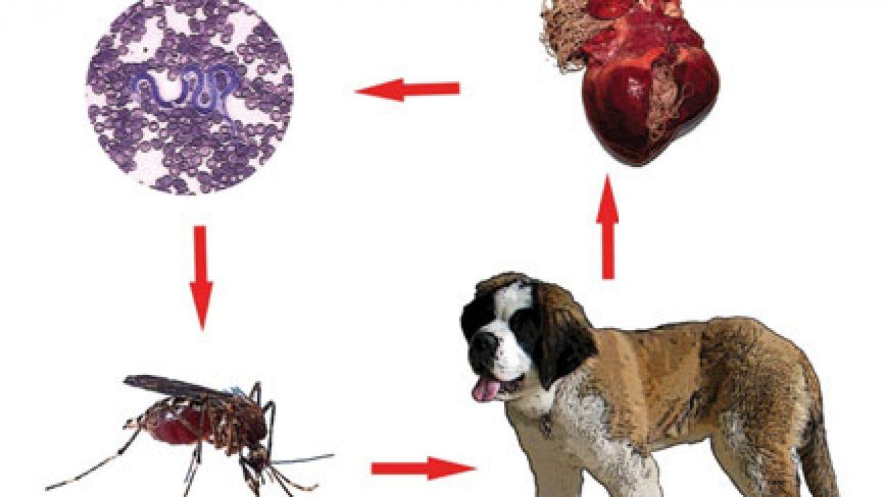 condiloamele sunt sau nu o boală venerică