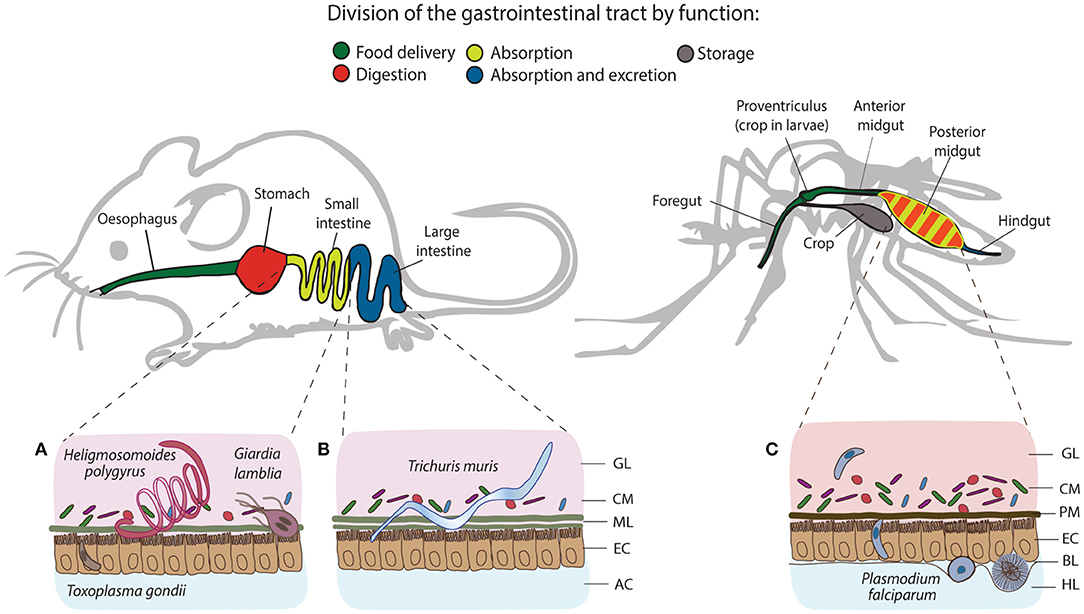 negii vector masculi papilloma virus lingua sintomi