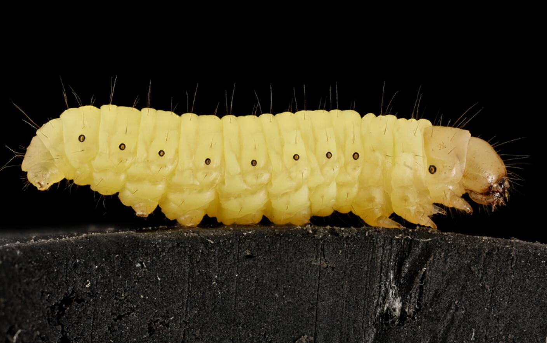 papiloma virusi