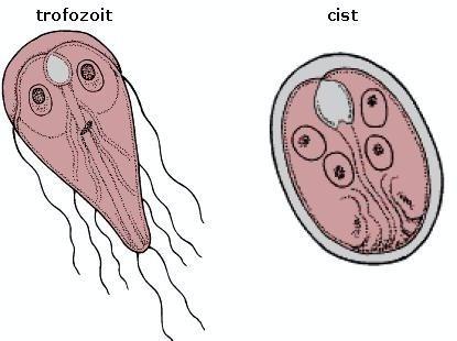 lamblia paraziti pesquisa de oxiurus nas fezes