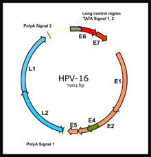 hpv oncogene definition tratament papiloame forum