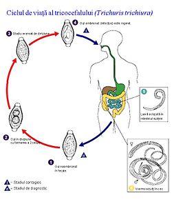 dezvoltarea de viermi paraziti