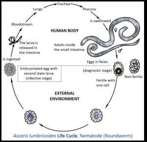 ciclul de viață al helmint ului