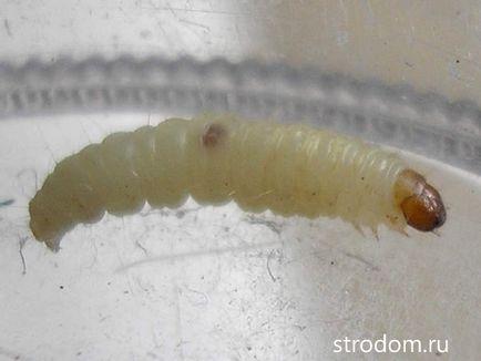 cum să scapi de viermi de vierme