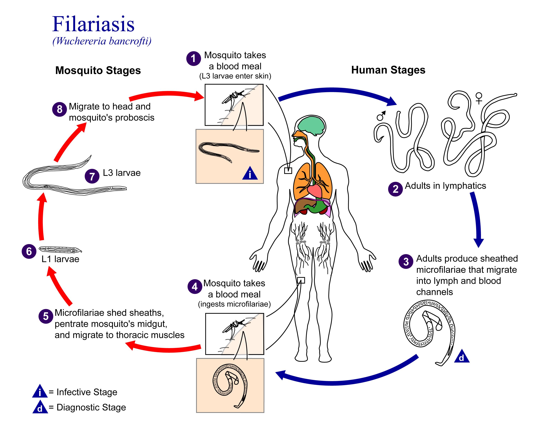 helminth infections filariasis o que e oxiurus tratamento