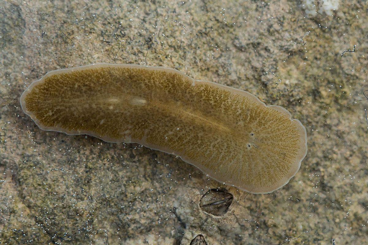 tinctură de veruci de calendula papiloamele sunt vindecabile