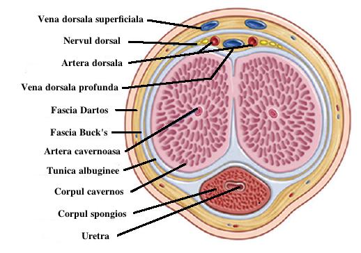 condiloame ale deschiderii externe a uretrei