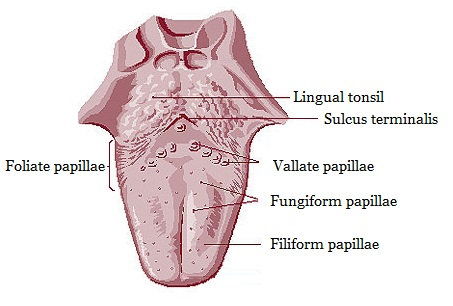 Fungiform papillae tongue treatment