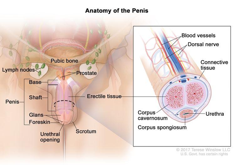 hpv related penile cancer îndepărtarea viermilor pentru întreaga familie