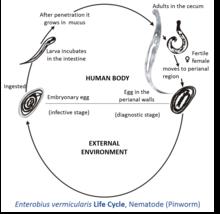 life cycle of enterobius vermicularis with diagram visăm la tapiseria bulgară