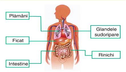 organ de detoxifiere