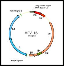 papilloma virus oncogene treatment for human papillomavirus cancer