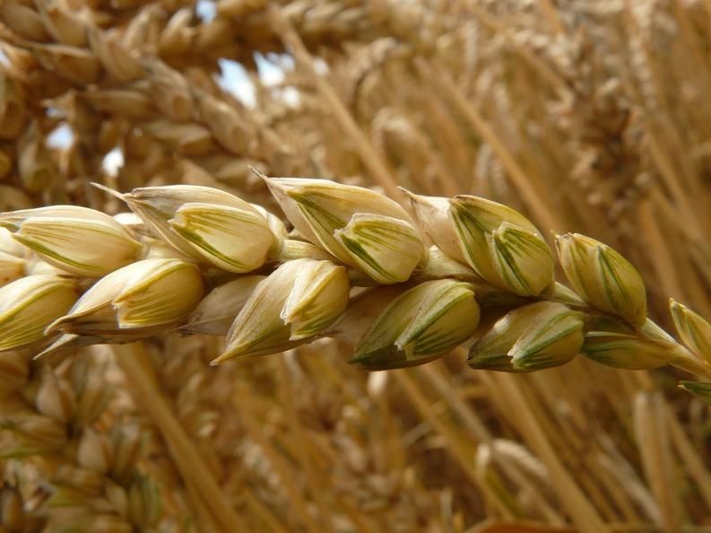 parazit de grâu cum să eliminați negii genitali pe față