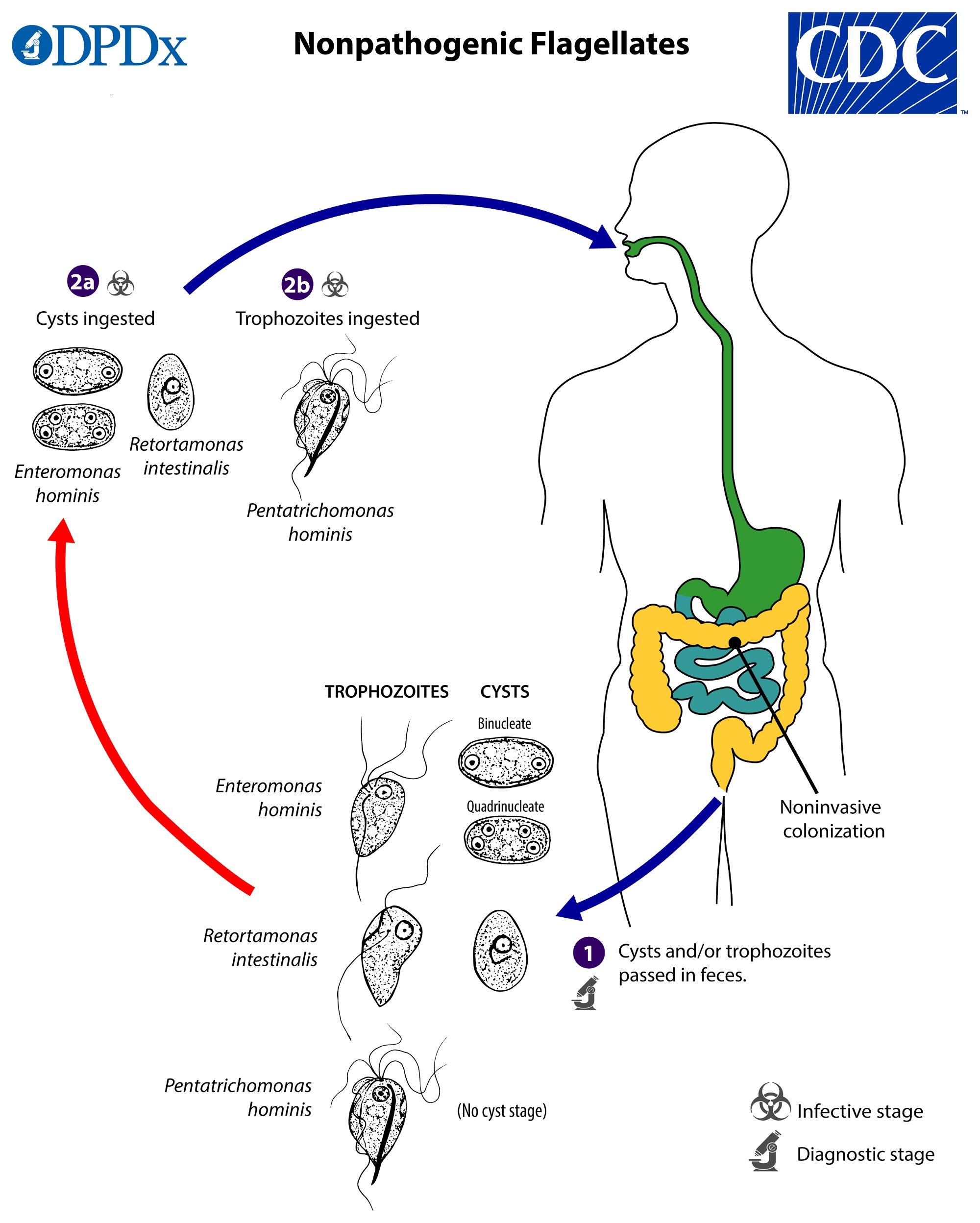 paraziti cdc dpdx tipuri de viermi și tratament dentar
