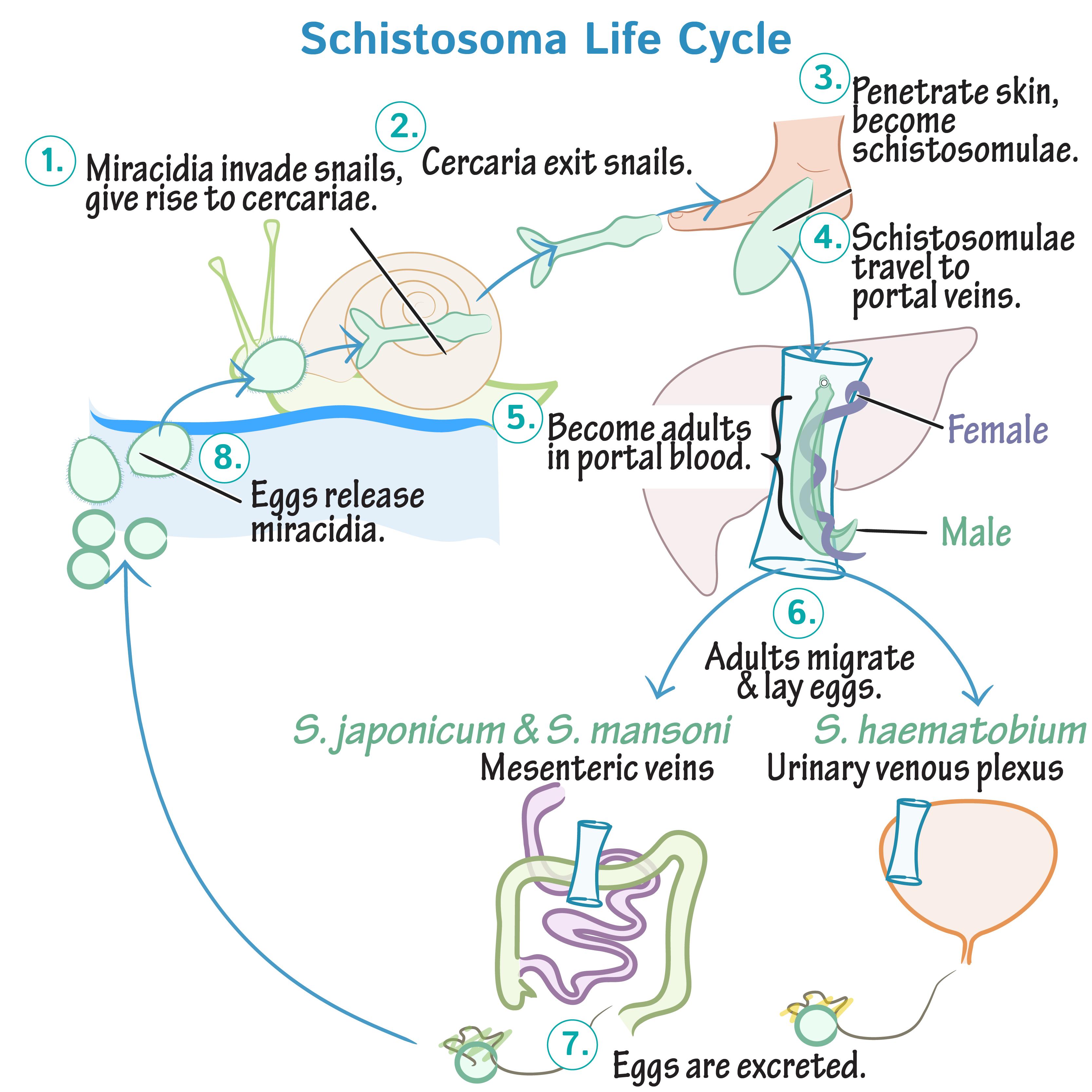schistosomiasis osmosis cele mai bune preparate pentru viermi