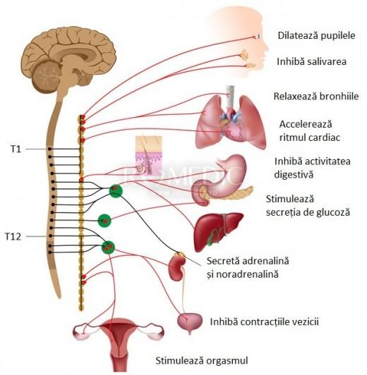 Sistem nervos simpatic