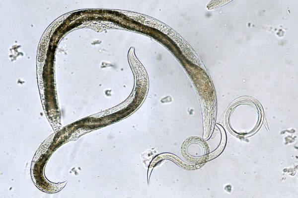 tipurile de paraziți sunt viermi
