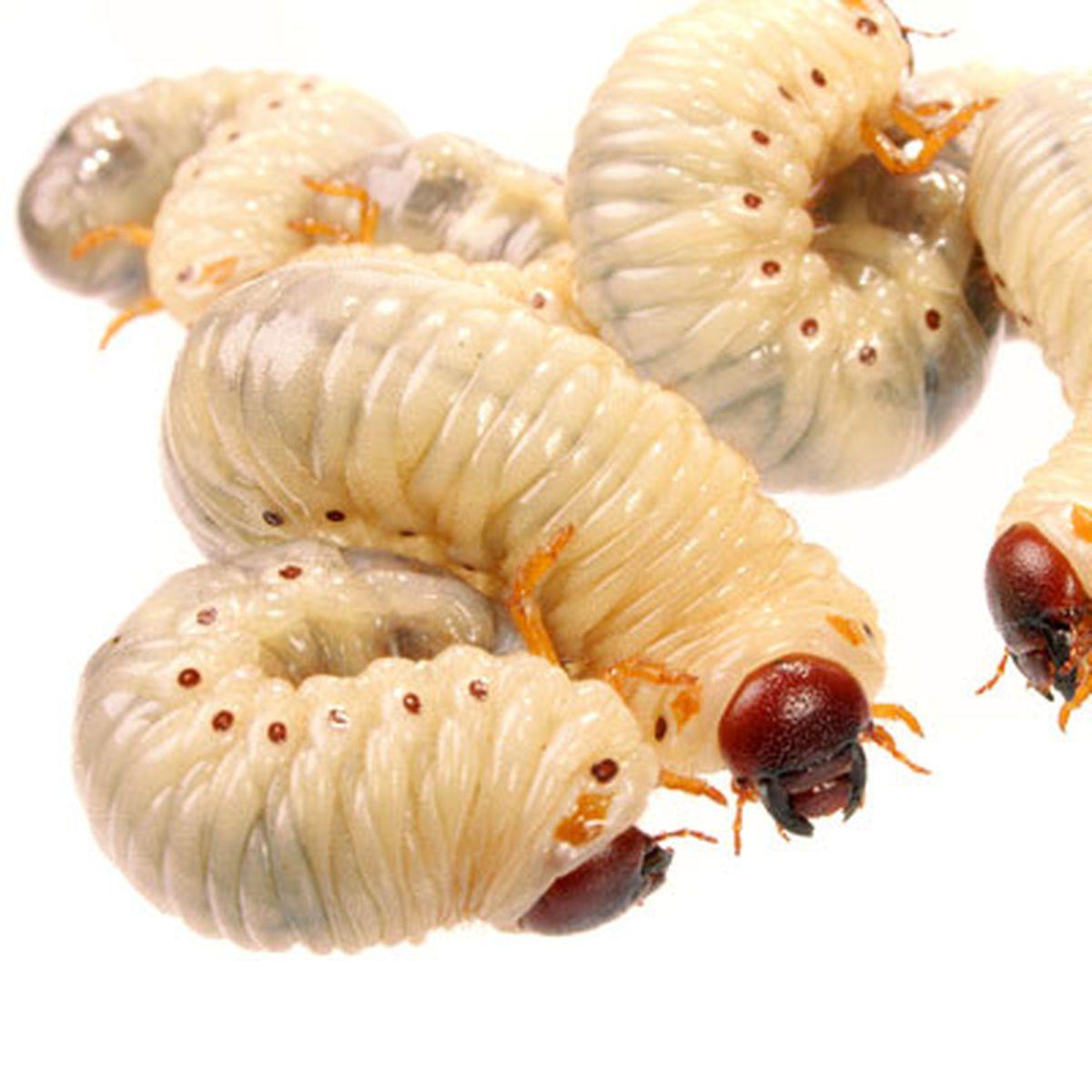 tratament pentru vierme și viermi papillary urothelial neoplasm treatment
