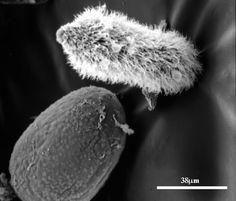 un mic parazit al insectelor is laryngeal papillomatosis a std