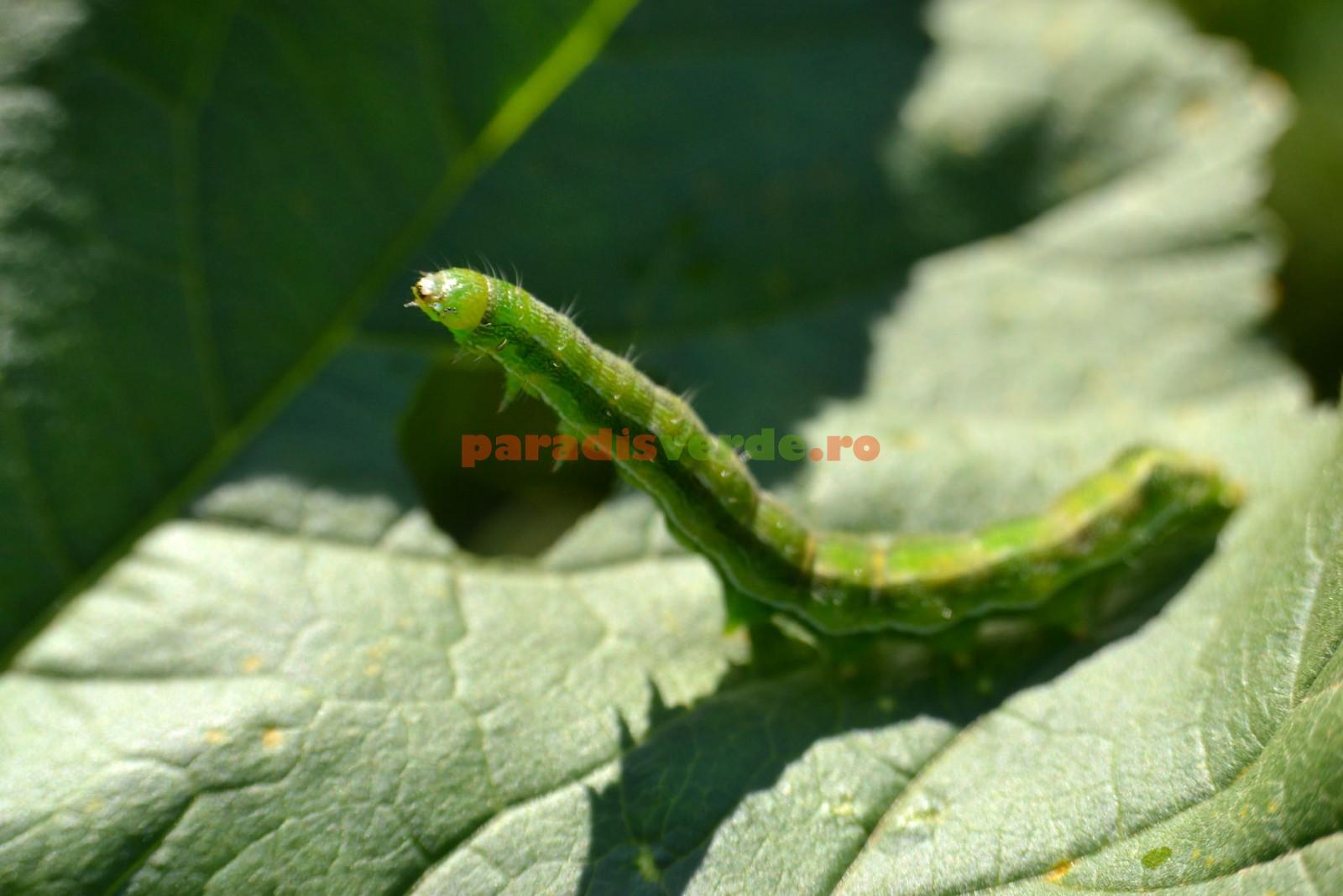 Fluture de mătase
