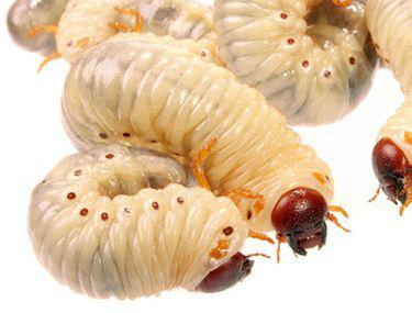 Parazitozele intestinale: giardioza si ascaridioza | ceas-mana.ro