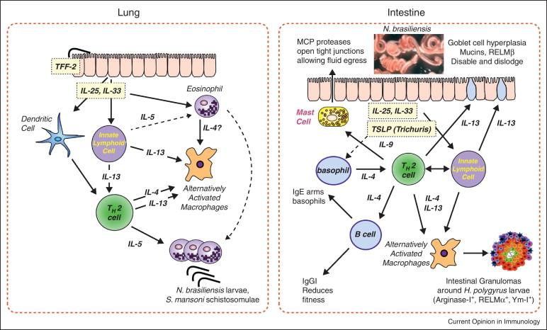helminth infection th2 zentel pt oxiuri
