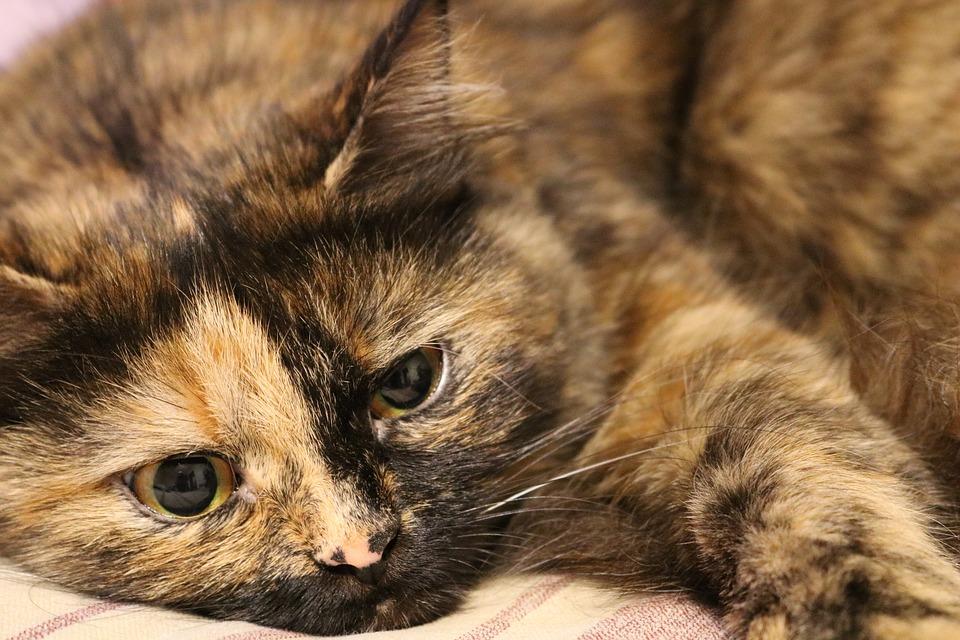 tratament scabie la pisici