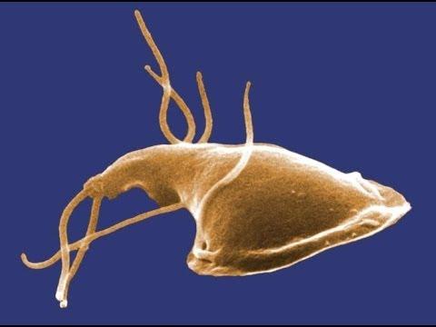 anthelmintic activity of tamarindus indica condiloame în anus la tratamentul femeilor