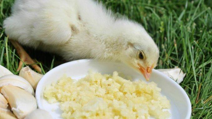5 remedii naturale pentru imunitatea găinilor – Agroland