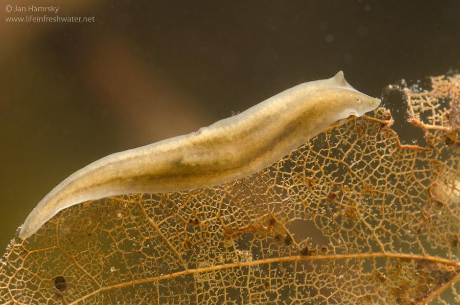 platyhelminthes turbellaria dugesia