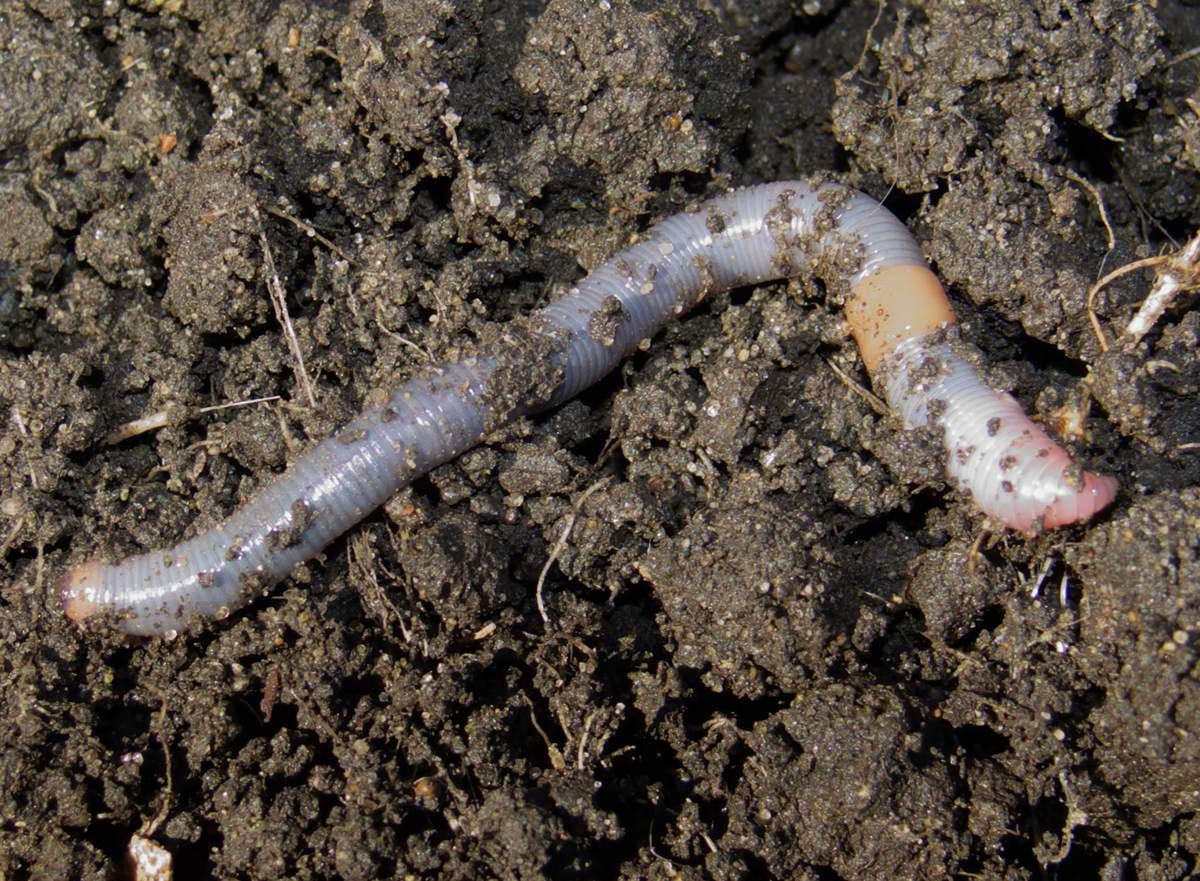 specii de viermi de pământ