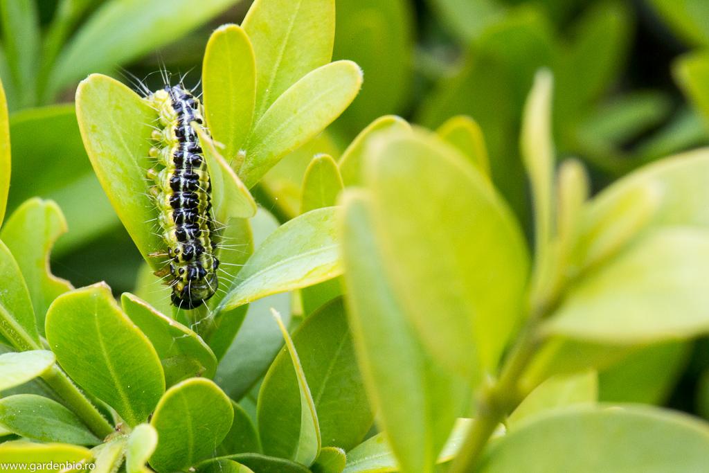 vierme buxus picături de parazit pentru oameni