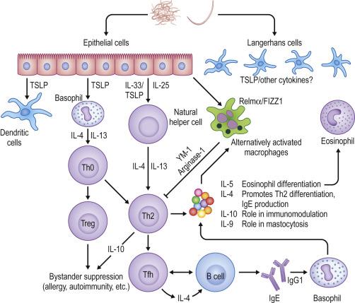helminth infection th2 parazitoza shqip