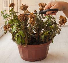 Fainarea - Tot ce trebuie sa stii despre aceasta boala a plantelor
