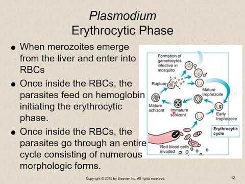paraziți apicomplexan protozoan