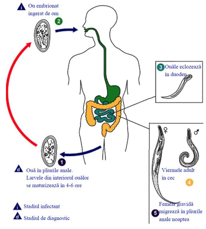 simptomele viermilor din medicina adultă